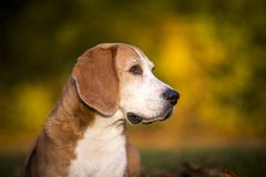 Portrait of a Beagle dog. In autumnal landscape Royalty Free Stock Image