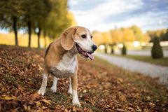 Portrait of a Beagle dog. In autumnal landscape Royalty Free Stock Photography