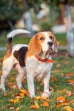 Portrait of a Beagle dog . royalty free stock photos