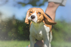 Portrait of Beagle dog After Bath Royalty Free Stock Photo