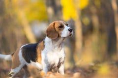 Portrait of Beagle dog Royalty Free Stock Image