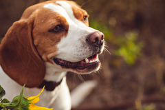 Portrait Of Beagle Dog Royalty Free Stock Image