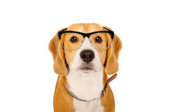 Portrait of a Beagle dog in glasses Royalty Free Stock Images