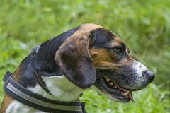Portrait of a beagle. Dog portrait of a beagle on a green meadow stock image