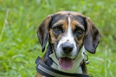 Portrait of a beagle. Dog portrait of a beagle on a green meadow stock photos