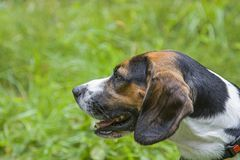 Portrait of a beagle. Dog portrait of a beagle on a green meadow royalty free stock photography