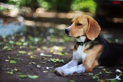 Portrait of a beagle dog outdoor. Portrait of an adorable beagle dog outdoor in fall Royalty Free Stock Images