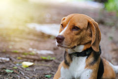 Portrait of  beagle dog outdoor. Portrait of  beagle dog outdoor in fall Stock Photography