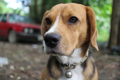 Portrait of beagle dog outdoor. Portrait of beagle dog outdoor in fall royalty free stock image