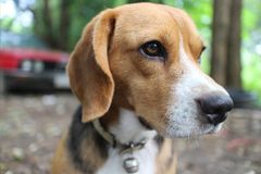 Portrait of beagle dog outdoor. Portrait of beagle dog outdoor in fall stock photos