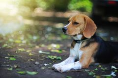 Portrait of a beagle dog outdoor. Portrait of an adorable beagle dog outdoor in fall Royalty Free Stock Photo