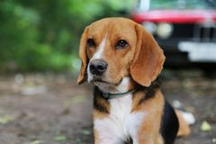 Portrait of a beagle dog outdoor. Portrait of an adorable beagle dog outdoor in fall Stock Photos