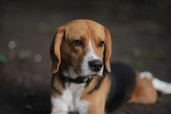 Portrait of beagle dog outdoor. Portrait of beagle dog outdoor in fall Royalty Free Stock Photos