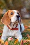 Portrait of a Beagle dog stock image