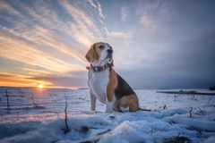 Portrait of Beagle dog on sunset background in winter evening stock images