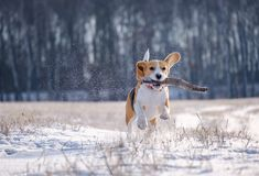 Portrait of a Beagle dog on a walk on a Sunny winter day stock images