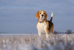 Portrait of a Beagle dog on a walk on a Sunny winter day stock photos