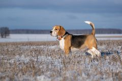 Portrait of a Beagle dog on a walk on a Sunny winter day royalty free stock images