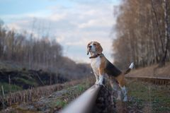 Portrait of Beagle dog in the forest. Portrait of Beagle dog during a walk in the woods in the spring evening royalty free stock photos