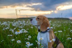 Portrait of Beagle dog with white daisies stock photo