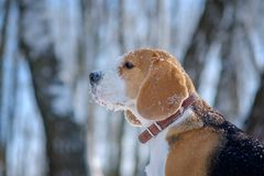 Portrait of Beagle dog in winter forest. Portrait of Beagle dog in winter snow-covered forest on a Sunny day Stock Images