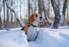 Portrait of Beagle dog in winter forest. Portrait of Beagle dog in winter snow-covered forest on a Sunny day Stock Image