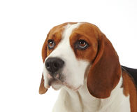 Portrait of beagle dog Royalty Free Stock Images