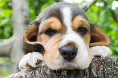 Portrait of a beagle puppy Stock Images