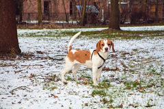 Portrait of beagle puppy on snowy meadow Royalty Free Stock Photography