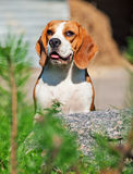 Portrait of beagle Royalty Free Stock Photography