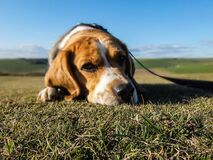 Portrait of beagle in sunny yard