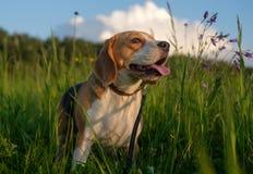 Portrait of a Beagle on a walk on a summer evening Stock Photos