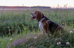 Portrait of a Beagle on a walk on a summer evening Stock Image