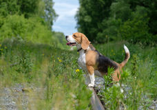 Portrait of a Beagle on a walk in a summer forest Royalty Free Stock Photos