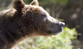 Portrait of a bear Stock Photography
