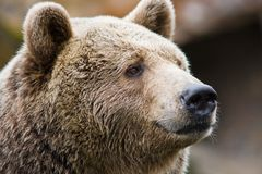 Portrait of a bear Stock Photo