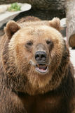 Portrait of a bear. Animal stock images