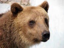 Portrait of bear. Portrait of brown bear in zoo Royalty Free Stock Photo