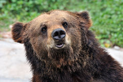 A portrait of a bear. Portrait of a standing bear, shown as animal and nature life Stock Images