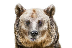Portrait of the Bear Royalty Free Stock Photo