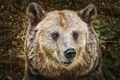 Portrait of the Bear. Close Up Portrait of the Brown Bear Stock Image
