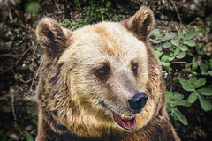Portrait of the Bear Stock Photography
