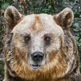 Portrait of the Bear Stock Photo