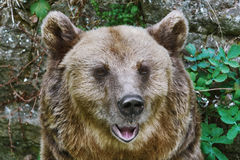 Portrait of the Bear. Close Up Portrait of the Brown Bear Royalty Free Stock Images