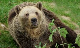 Bear look to camera. Portrait bear in grass. Bear look to camera Royalty Free Stock Photos