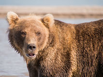Portrait of a bear, shot from close range Stock Image