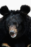Portrait of a bear Royalty Free Stock Photo