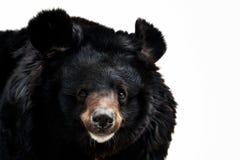Portrait of a bear Stock Image
