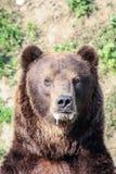 Portrait of a bear Stock Photo