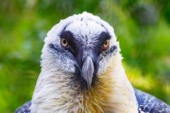 Portrait of a beard vulture (Cypaetus barbatus aureus) Stock Photography